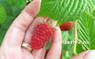 Малина Столешник: описание сорта, преимущества и недостатки, урожайность, фото, отзывы
