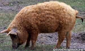 Венгерская мангалица: описание пуховой породы, отзывы владельцев, фото