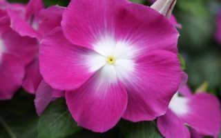 Катарантус ампельный: уход и выращивание из семян, фото