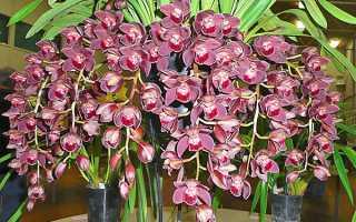 Орхидея цимбидиум: уход в домашних условиях, фото, размножение, пересадка