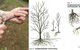 Размножение сливы: виды, сроки, особенности посадки