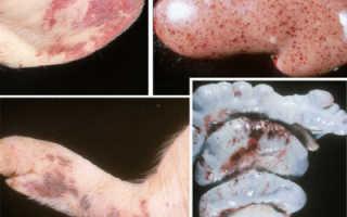 Классическая чума свиней: симптомы, вакцинация, лечение, профилактика