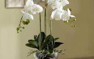 Орхидея отцвела: что делать дальше и как ухаживать, нужно ли обрезать, фото, видео