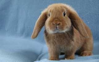 Вислоухий кролик баран: описание декоративной породы, сколько они живут, размеры, как за ними ухаживать, фото