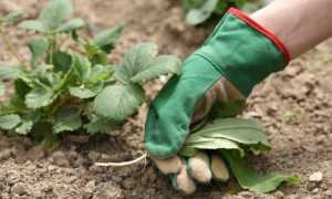 Уход за клубникой после сбора урожая: особенности, сроки, пошаговая инструкция правильного ухода, советы садоводов