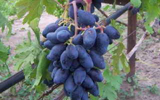 Виноград Ромбик: описание и характеристика сорта, особенности посадки и ухода за виноградом, фото