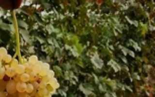 Почему виноград не плодоносит: основные причины и что при этом делать, через какое время начинает и сколько