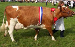 Айрширская порода коров: описание, уход и кормление