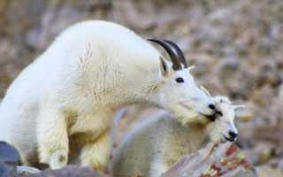 Охота у коз: периодичность и признаки, сколько длится, как определить