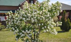 Калина декоративная Бульденеж: подкормка и удобрение весной