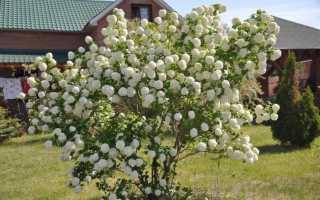 Размножение декоративной калины Бульденеж одревесневшими и зелёными черенками весной и летом, фото