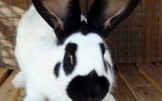 Кролик строкач: описание, характеристика и фото породы, содержание, уход и кормление