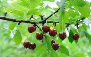 Подкормка вишни: весной и осенью, особенности ухода, какие удобрения лучше использовать