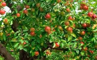 Почему не плодоносит яблоня и что при этом нужно делать