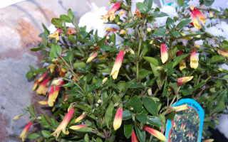 Цветок якобиния: уход в домашних условиях, фото и описание