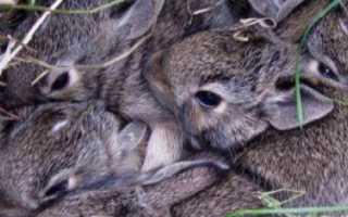 Когда крольчата выходят из гнезда, через сколько дней открывают глаза и вылезают