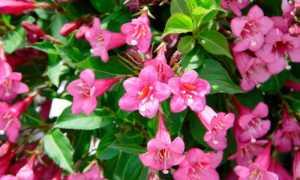 Вейгела Эльвира (цветущая Elvera): описание и фото сорта, посадка и уход в открытом грунте, морозостойкость куст