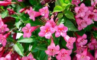 Вейгела цветущая Виктория (weigela florida Victoria): фото и описание кустарника, посадка и уход за ним, морозостойкость сорта