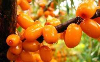 Облепиха Теньга: описание сорта, фото, необходимый сорт-опылитель, посадка и уход за растением, максимальная высота куста