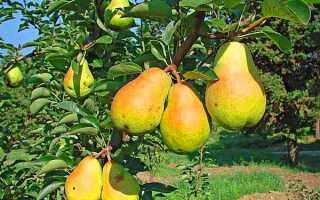 Груша Вильямс: характеристики и ботаническое описание, особенности посадки и ухода за деревом, фото