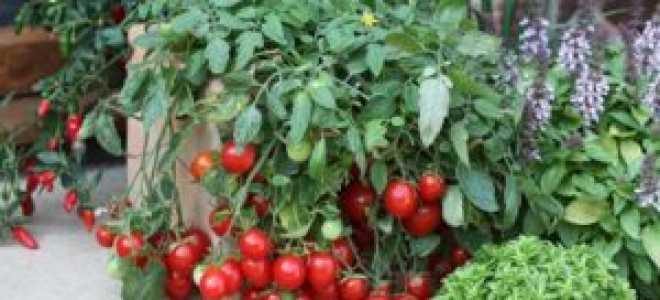 Томат Линда (f1, черри): характеристика и описание сорта, фото, урожайность