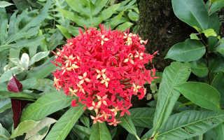 Пентас, цветок – выращивание из семян в домашних условиях, фото