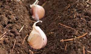 Посадка чеснока весной в открытый грунт и уход
