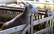 Кличка козы: как можно назвать девочку и мальчика, список лучших имён