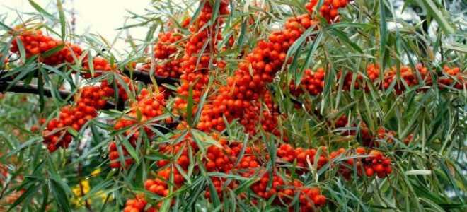 Облепиха Ажурная: описание сорта, фото, правильная посадка и уход за растением, когда лучше садить и как ухаживать