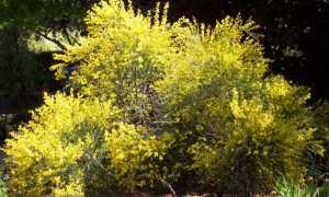 Ракитник: посадка и уход в Подмосковье, выращивание в открытом грунте, фото, применение растения в ландшафтном дизайне