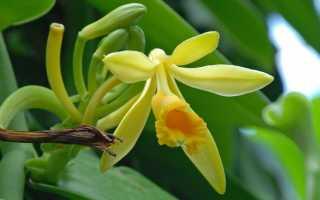 Орхидея Ваниль: описание с фото, уход в домашних условиях