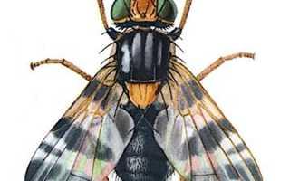 Вишнёвая муха: биологическое описание, методы борьбы и профилактики