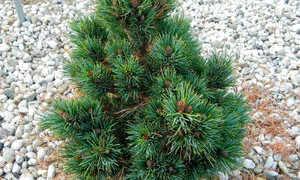 Сосна кедровая Глаука компакта (Pinus cembra Glauca): описание и фото дерева, использование в ландшафтном дизайне