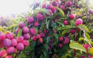 Слива Синильга: характеристика и описание сорта, особенности выращивания и ухода за посадками, фото
