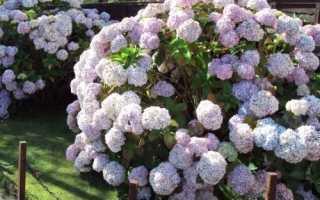 Сколько лет растёт гортензия до большого куста, как быстро цветёт растение, правила выращивания