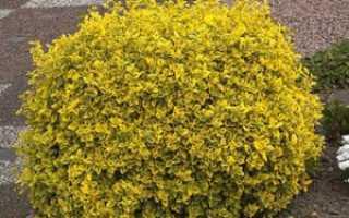 Бересклет Форчуна Арлекин: описание с фото, зимостойкость сорта, посадка и уход за цветком