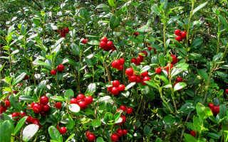 Клюква и брусника — отличия: внешний вид и вкус ягод, разница между растениями, фото