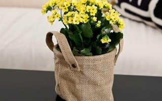 Почему не цветёт каланхоэ в домашних условиях: что делать, как заставить цвести, фото, видео