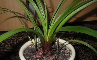 Комнатное растение валлота: фото и описание, уход и выращивание в домашних условиях
