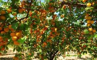 Что такое абрикос: как выглядит, где растёт, семейство абрикоса, описание и фото