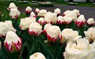 Тюльпан сорта Айс Крим (Мороженое, Пломбир): особенности посадки и ухода, использование в ландшафтном дизайне, фото