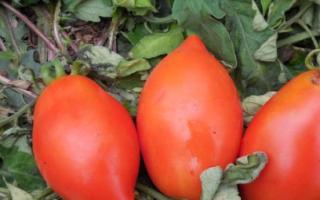 Томат «Ракета»: характеристика и описание сорта, фото, урожайность, посадка и уход