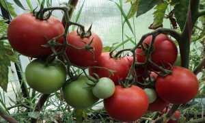 Томат Рапсодия F1: характеристика и описание, особенности выращивания, урожайность, фото