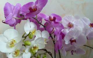 Почему у орхидеи опадают нераспустившиеся бутоны: основные причины и что при этом делать
