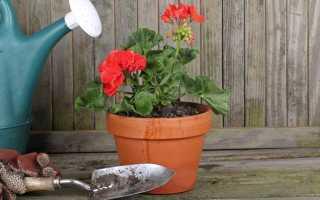 Как правильно поливать герань в домашних условиях для обильного цветения: чем и как часто, сколько раз в