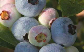 Голубика садовая Чандлер: описание сорта, фото и отзывы, сроки созревания, посадка и уход
