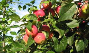 Дикая яблоня: описание и характеристика, правила посадки и ухода, фото