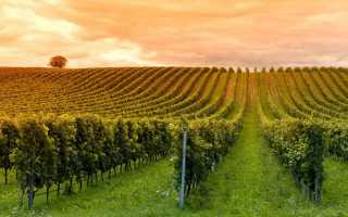 Формировка винограда с первого года и в последующие годы: лучшие способы и виды, схемы, выращивание и дальнейший