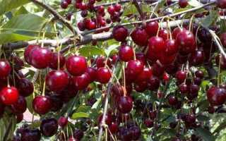 Вишня: дерево или кустарник? Ботаническое описание и характеристика, к какому виду относится, фото