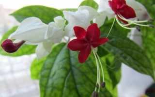 Клеродендрум Томпсона – уход в домашних условиях – фото и размножение